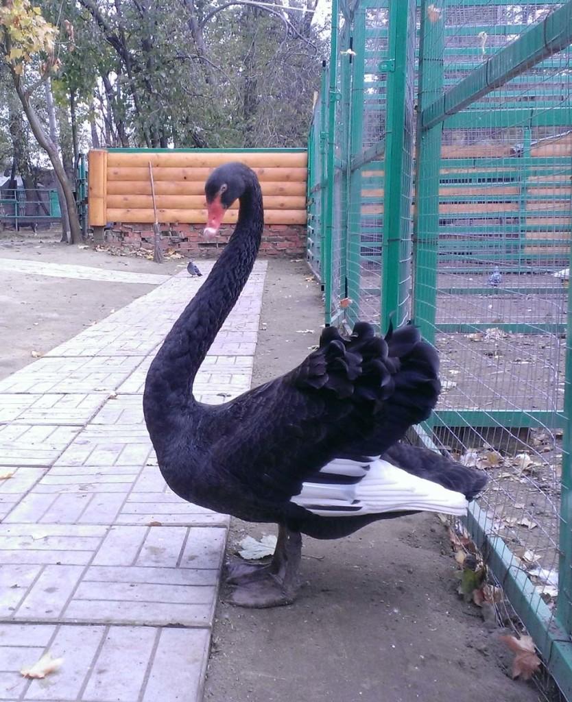 Черный лебедь - вот какой красавец!