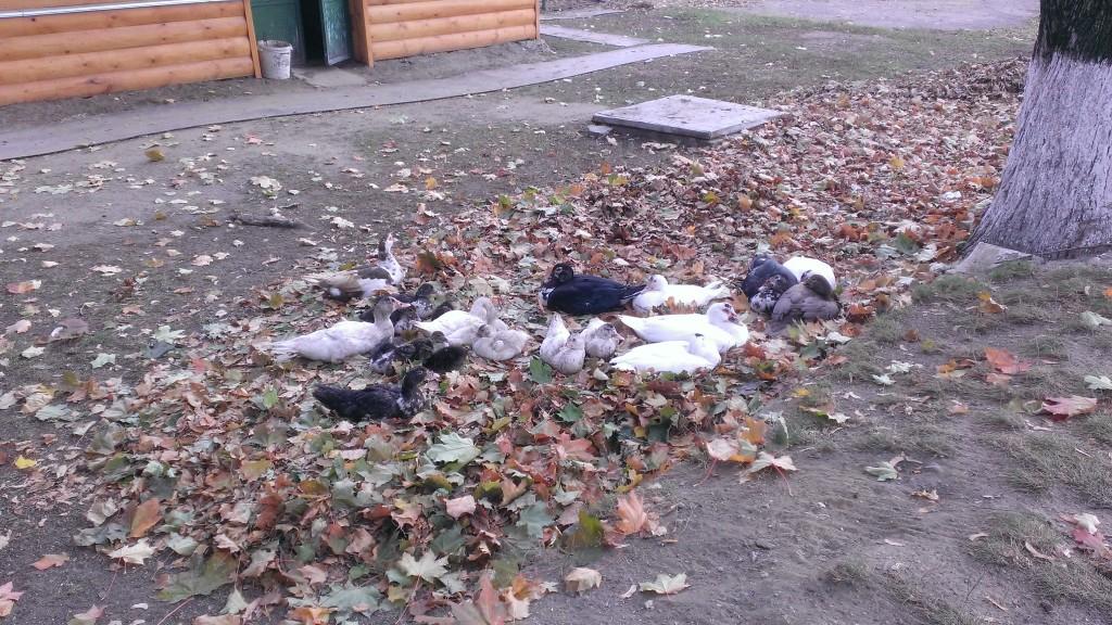 Индоутки отдыхают в листьях